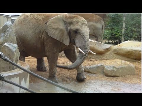 African and Asian elephants sharing a bath in a waterhole at Augsburg Zoo - Botanical Garden