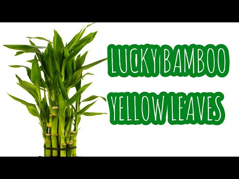 Lucky bamboo yellow leaves