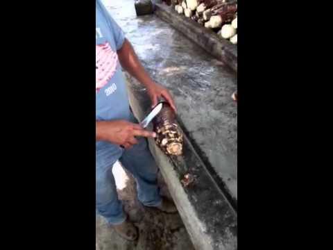 Malanga coco 1