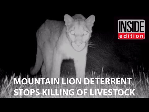PREDATOR GUARD LIGHTS STOP MOUNTAIN LION FROM ATTACKING LIVESTOCK