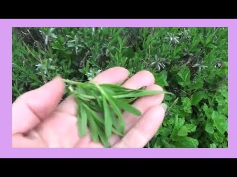 Lavender Leaves : Harvesting, Preserving, and Uses