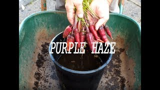 Grow Carrots,  some purple carrots and some not purple carrots