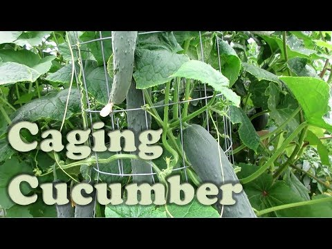 Caging & Wrapping Cucumber