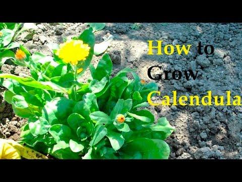 How to Grow Calendula