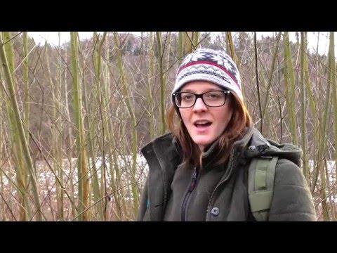 Survival Medicine - Willow Bark