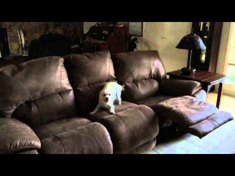Hyper Puppy jumping from couch to couch
