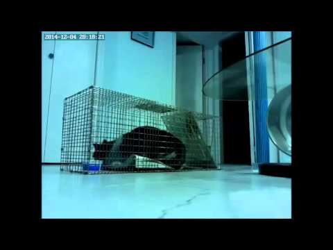 Catching feral cat stuck inside house. Cat's head slams on trap door.