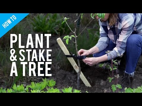 How to plant and stake a tree