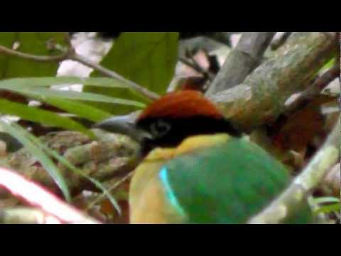 Noisy Pitta Bird in Habitat, Mt Tamborine, Queensland Australia
