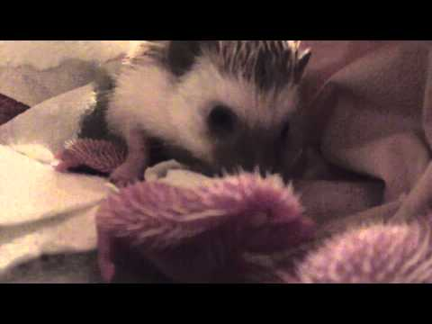 Mother hedgehog interact with day old babies