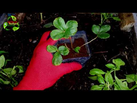 How To Grow Strawberries   Agrosuede