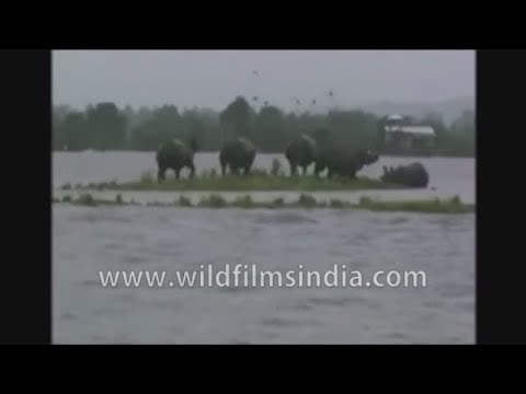 Rhinos affected by floods in Assam