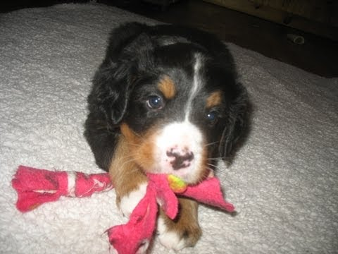 Newborn to 8 weeks in 1 Minute: Female Bernese Mountain Dog
