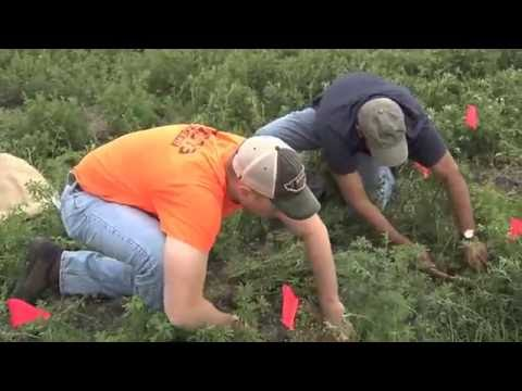 How to Count Alfalfa Stems and Plants in Alfalfa