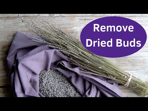 Growing Lavender - Remove Dried Lavender Buds
