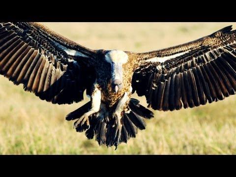 Munir Virani: Why I love vultures