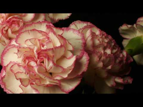 Pink around the edge - A flowery timelapse