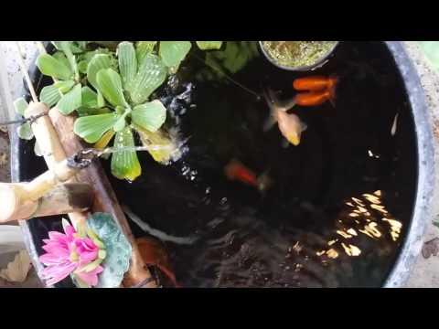 Wine barrel goldfish tub