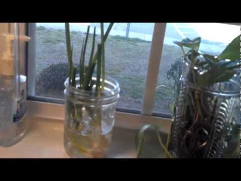 ReGrow you're cut green onions Part2