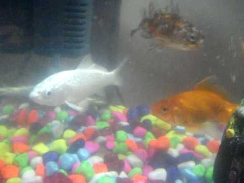 My koi fish is too sick what can i do :-(