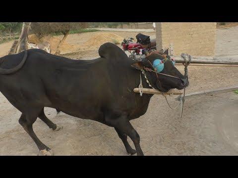 Barman sahiwal cros Bull for sale in pakistan on YouTube 21