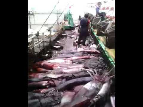 Giant squid fishing in PERU