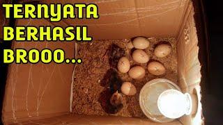 Experimen Alat Tetas Telur Ayam Sederhana Dari Kardus