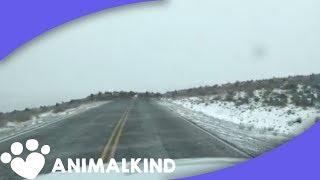 Download The largest elk stampede we've ever seen Video