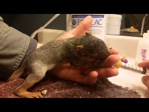 how to feed baby squirrel