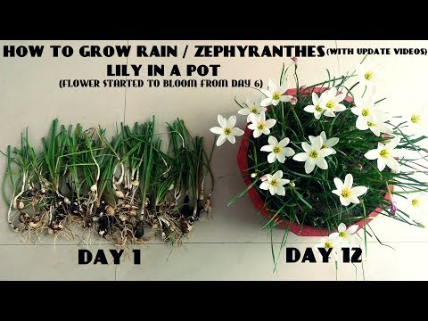 How to Grow Rain / Zephyranthes Lily in a Pot (With Update Videos)