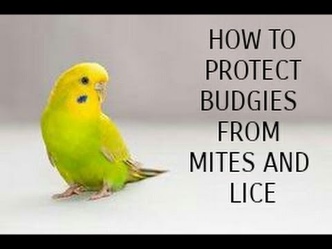 HOW TO PROTECT BUDGIES FROM LICE AND MITES IN URDU