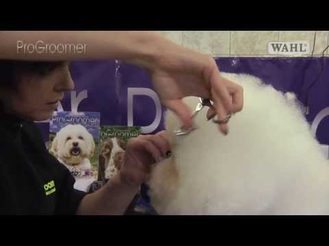 Grooming Guide - Bichon Frisé Show or Competition Trim - Pro Groomer