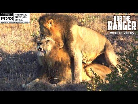 Xxx Mp4 Gay Pride Male Lions Reinforcing Social Bonds 3gp Sex