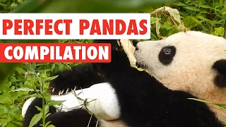 Perfect Pandas Video Compilation 2017