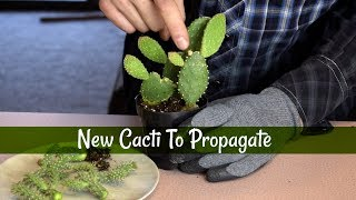 Growing Cuttings from Opuntia and Cholla Cactus!