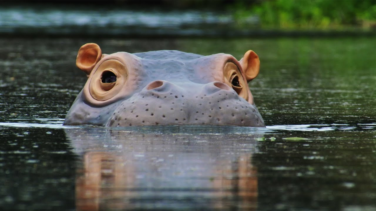 The 'Beauty' Regime of Hippos | Spy In The Wild | BBC Earth