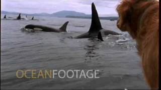Ocean Footage: Dog watches killer whales
