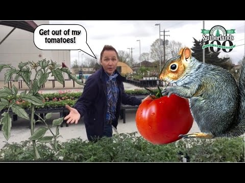 How to Keep Critters Out of Your Tomatoes!