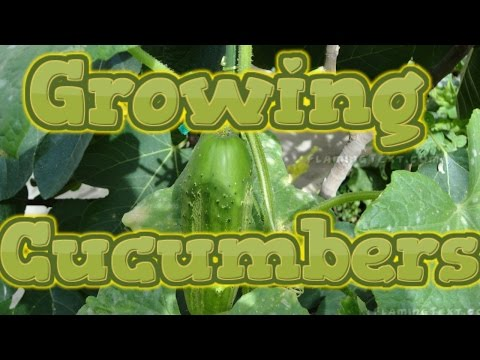 Growing Cucumbers from seed start to finish