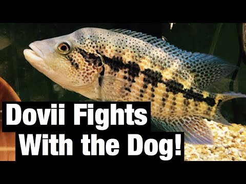 Dovii Fighting with Dog! Wolf Cichlids are CRAZY