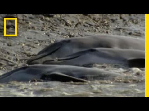 Dolphins Hunt on Sandy Shore   National Geographic