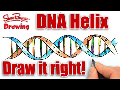How to draw The DNA Helix Correctly!