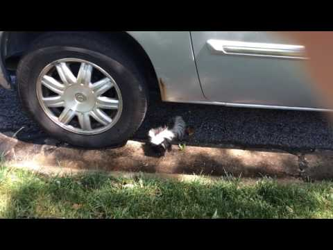 A skunk under my moms car