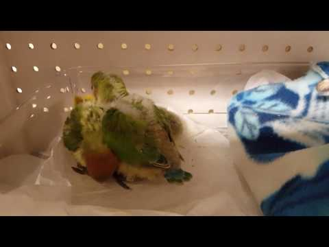 Baby lovebirds flipping wings to learn to fly
