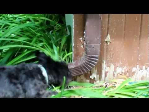 Miniature Schnauzer Kills Chipmunk