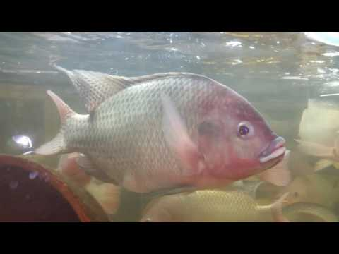 From eggs to 2.5kg fish all in house. 2min video will let you know what we do at the Fish Farm UK.