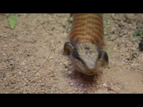 Lizard With Blue Tongue / Blue Tongued Lizard