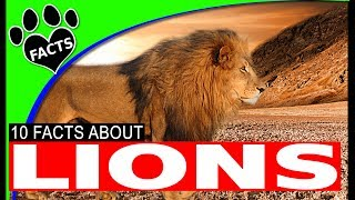 Top 10 Awesome Facts About Lions