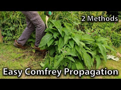 2 Methods of Comfrey Propagation