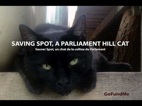 Saving Spot, a Parliament Hill Cat  (GoFundMe fundraising)